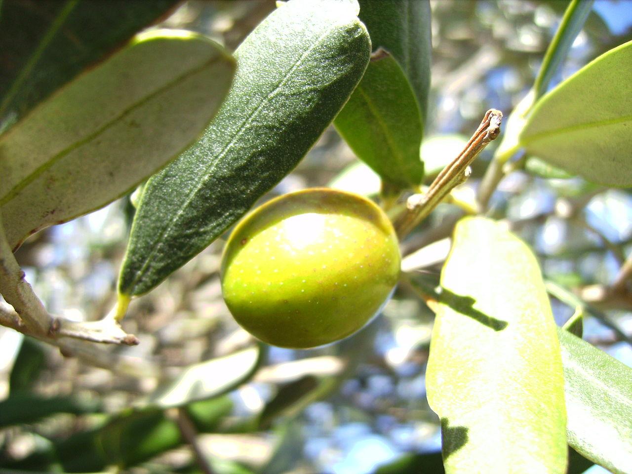 Hojiblanca, una variedad presente en casi toda Andalucía